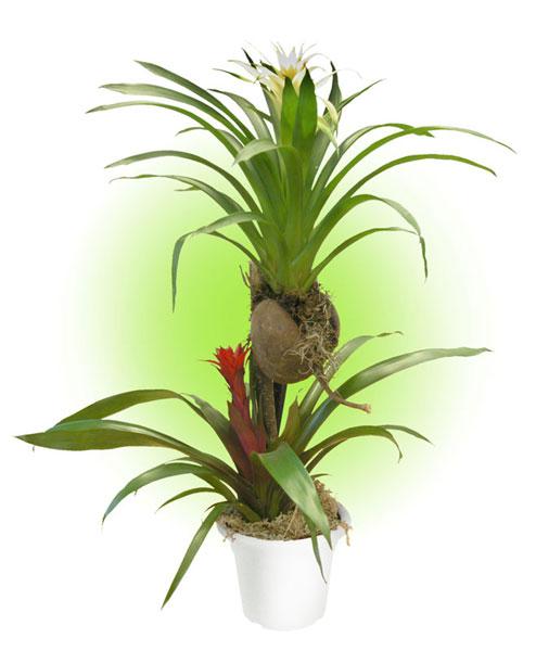 """""""Bromeliad tree"""""""