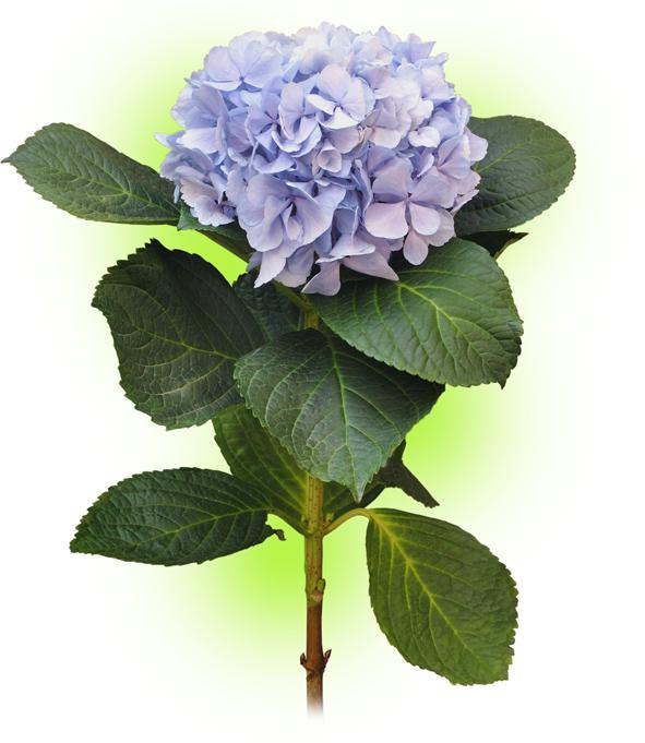 Гортензія блакитна