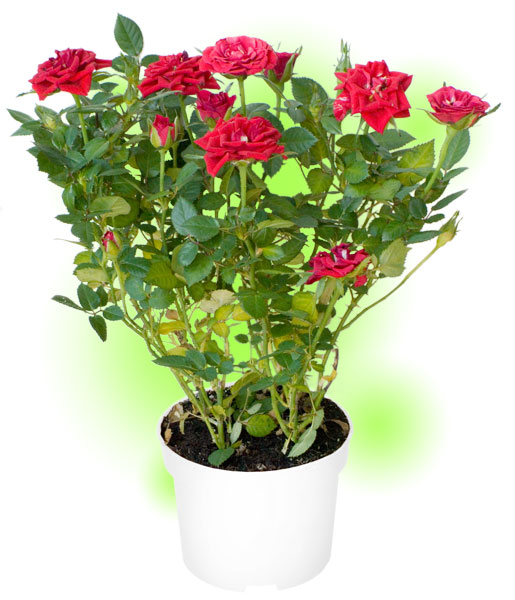 Роза миниатюрная комнатная