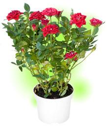 Роза мініатюрна вазонкова